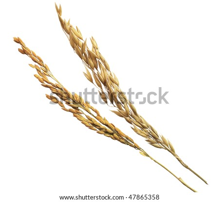 ears of rice and oat - stock photo