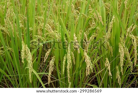 Ears of rice heavy with plump grain kernels, ready for harvest  - stock photo