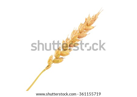 Ears of ripe wheat isolated on white  - stock photo