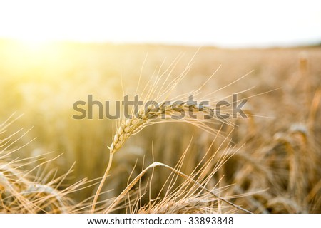 ears of ripe wheat on a background a sun - stock photo