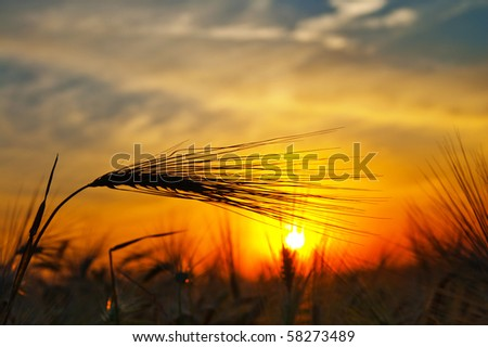 ears of ripe wheat on a background a sun in the evening - stock photo