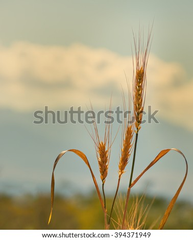 Ears of ripening wheat - stock photo