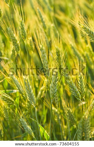 ears of rye in field, selective focus - stock photo