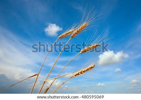 Ears of wheat against the blue sky with clouds