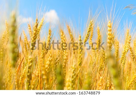 Ears of wheat against the sky