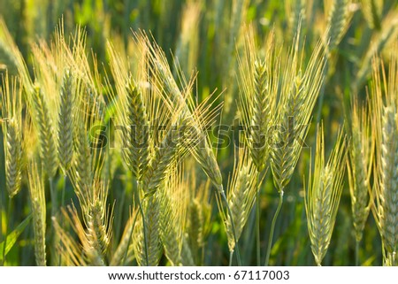 ears of wheat in field, selective focus - stock photo
