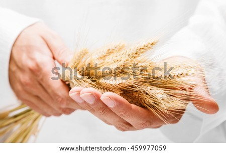 Ears of wheat in man hands on white background
