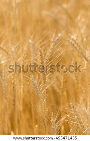 ears of wheat on the nature - stock photo