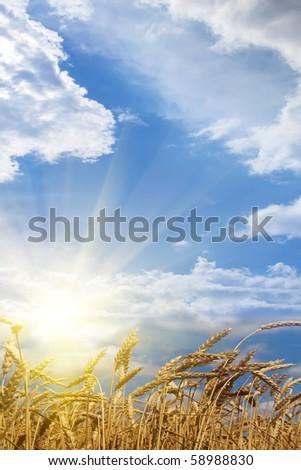 Ears  wheat  field  sunrise - stock photo