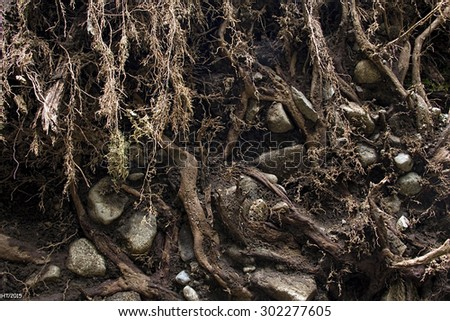 Earth and Roots from a fallen Cedar Tree