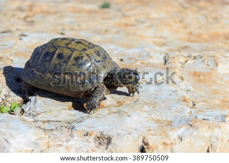 earthen turtle crawling in the early morning on a stone surface