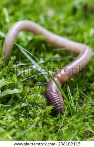 Earthworm in the green vegetation making rich humus - stock photo