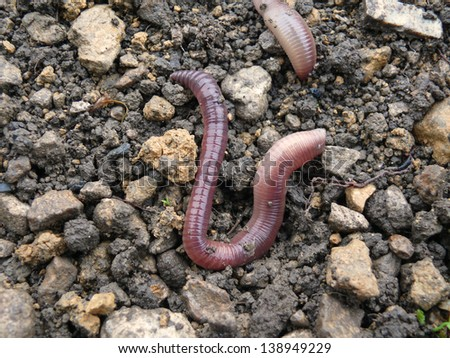 earthworms - stock photo
