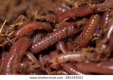 earthworms for fishing - stock photo
