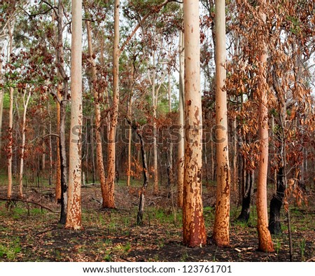 earthy tones regrowth of eucalypt gumtree forest woodland after bushfire in australia
