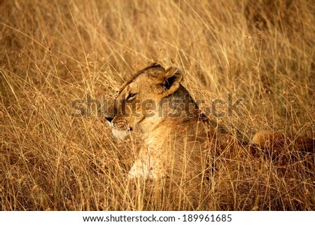 East African or Masai Lion - Scientific name: Panthera leo nubica. Adult female resting in the dry grass perfectly camouflaged. Maasai Mara National Reserve, Kenya, East Africa. - stock photo