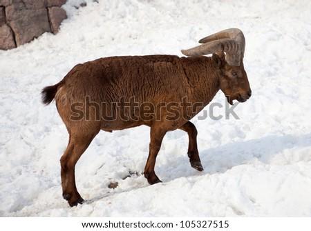 East Caucasian tur (Capra cylindricornis) on snow - stock photo