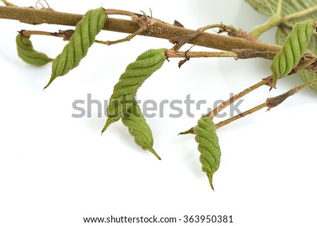 East Indian screw tree, have medicinal properties.