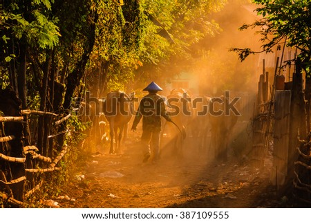 East Java, Indonesia - June 18, 2015: The farmer sending back his cows under beautiful evening sunlight, in the village near Mount Bromo. - stock photo