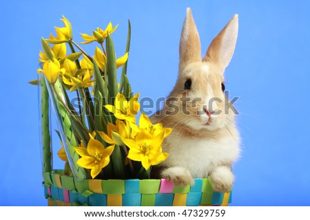 Easter bunny and yellow tulips, on blue background - stock photo