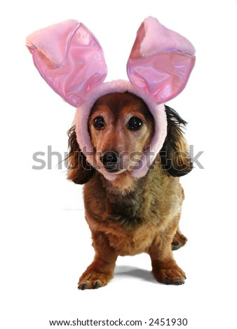 Easter bunny dachshund, part of a holiday series featuring the same dachshund. - stock photo