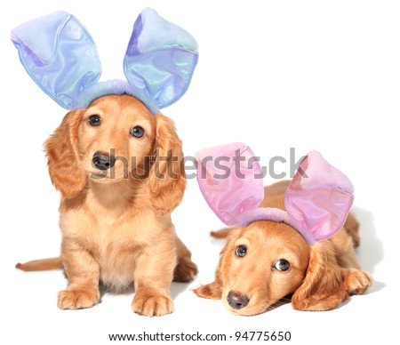 Easter bunny dachshunds puppies. - stock photo