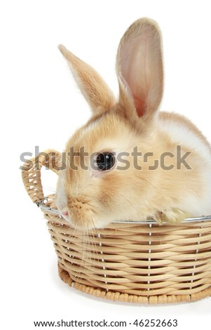 Easter bunny in a basket, isolated on white background