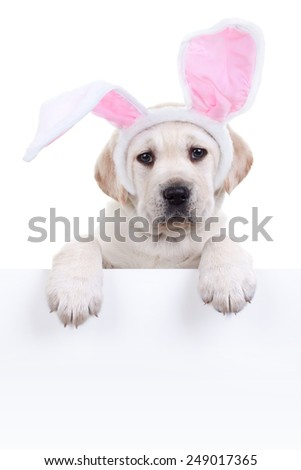 Easter bunny Labrador puppy dog in bunny ears holding sign or banner isolated on white - stock photo