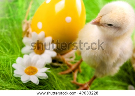 easter chick on green grass