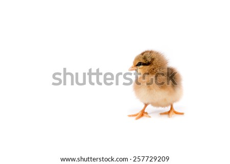 Easter Chicken, Easter Eggs, Easter card on white background isolated - stock photo