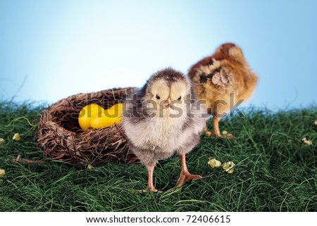 Easter chickens! Sweet young birds, easter concept!