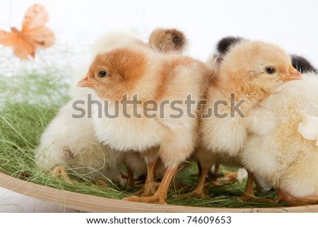 Easter concept image. Close up shot of baby chicken standing out in the crowd, surrounded by fake grass and colorful painted eggs. High resolution image taken in studio.