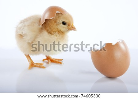 Easter concept image. One cute yellow baby chicken looking at an empty egg. High resolution image taken in studio, with reflection - stock photo