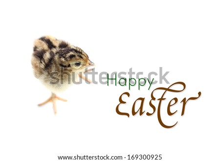 Easter concept with Baby pheasant isolated on white background - stock photo