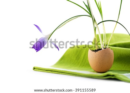 easter decoration, blue crocus flower planted in an eggshell on a green napkin, isolated with shadows on white as a corner background with copy space, close up, selected focus, narrow depth of field - stock photo