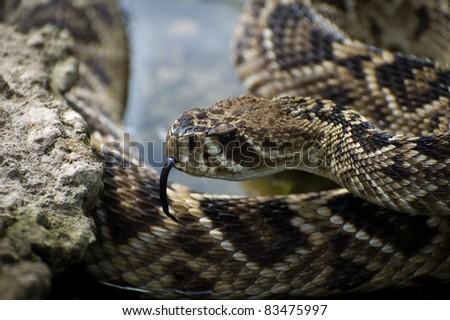 Easter Diamondback Rattlesnake - stock photo
