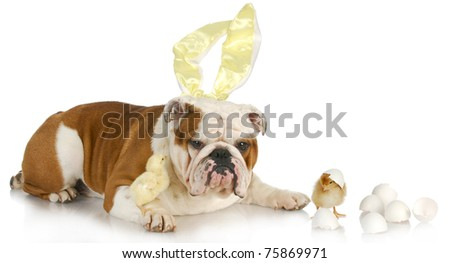 easter dog - english bulldog bunny with two chicks on white background