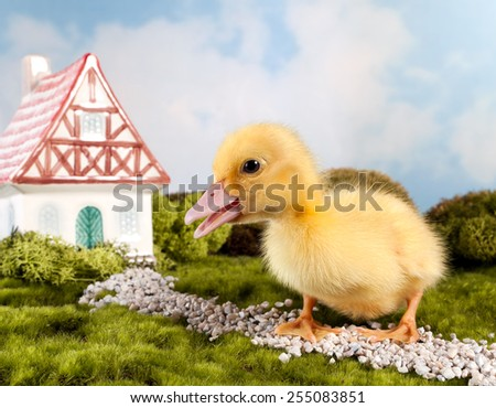 Easter fairytale scene with a miniature gnome house and yellow duckling - stock photo