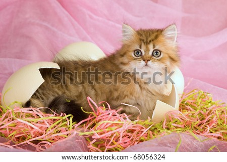 Easter golden chinchilla persian kitten hatched from ostrich egg on straw - stock photo