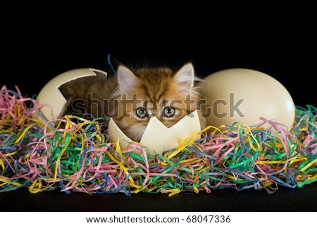 Easter Golden Chinchilla Persian kitten lying inside cracked egg on straw on black background - stock photo