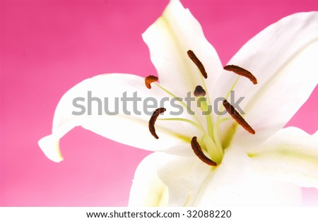 Easter lily - stock photo