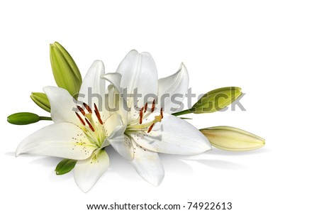 Easter Lily flowers on white background - stock photo
