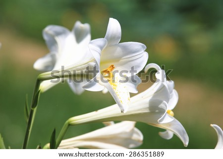 Easter Lily,Longflower Lily,beautiful white lily flowers blooming in the garden in summer,closeup - stock photo