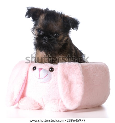 easter puppy - brussels griffon sitting inside an pink easter basket - stock photo
