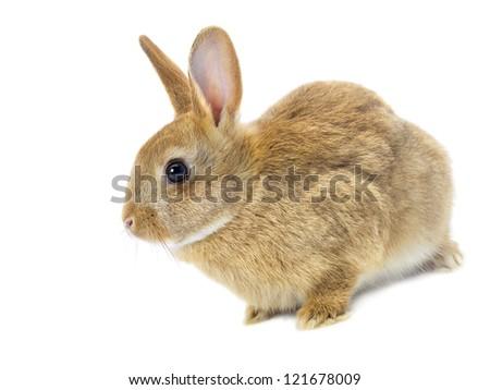 Easter rabbit isolated on white background - stock photo