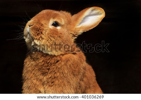 Easter rabbit looks up rabbit on a black background Easter holiday - stock photo