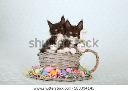 Easter theme Maine Coon kitten sitting in large  woven cup and saucer with Easter eggs and fluffy Easter bunny on light blue green background  - stock photo