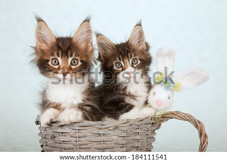 Easter theme Maine Coon kitten sitting in large woven cup with fluffy Easter bunny on light blue green background  - stock photo