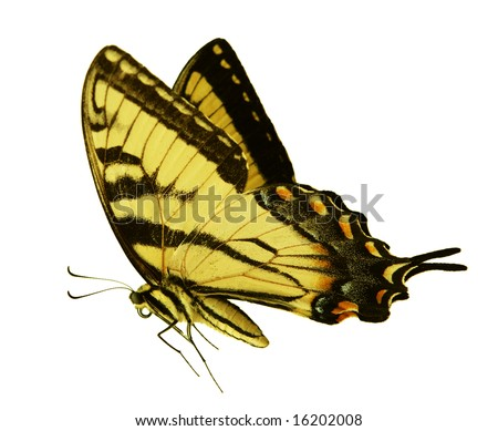 Easter Tiger Swallowtail Butterfly isolated on white background - stock photo