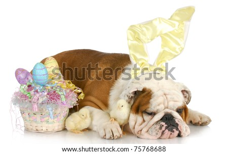 easter time - english bulldog bunny with baby chicks and easter basket on white background - stock photo